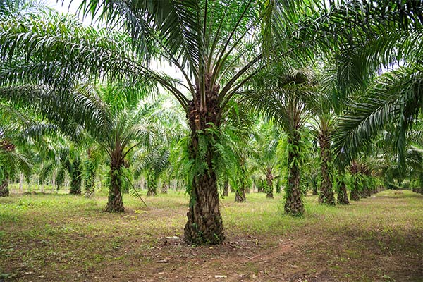 Sourcing Sustainable Palm Oil